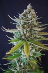 dr greenthumb seed reviews