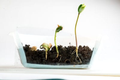 when to uncover seedlings
